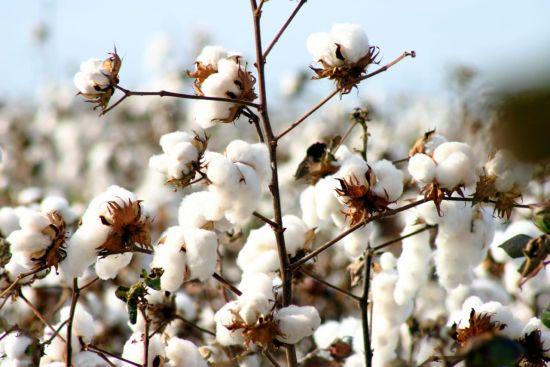 Raw Cotton Manufacturer,Wholesale Raw Cotton Supplier in