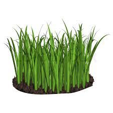 Organic Wheatgrass