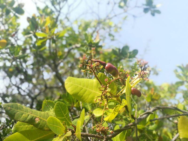 Cashew Nut 02