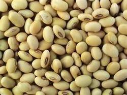 Soybeans Seed