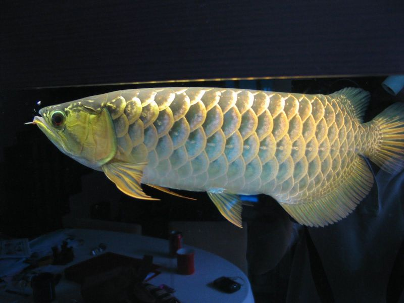 Golden Crossback Arowana Chili Fish