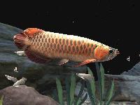 Red Tail Golden Arowana Fish