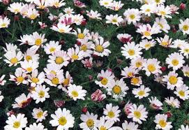 Akarkara Flower 02