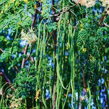 Moringa Leaves 01
