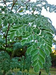 Moringa Leaves 02