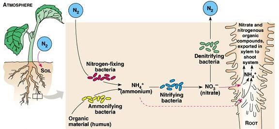 Azotobacter Biofertilizer