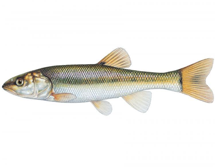 Fresh Chub Fish