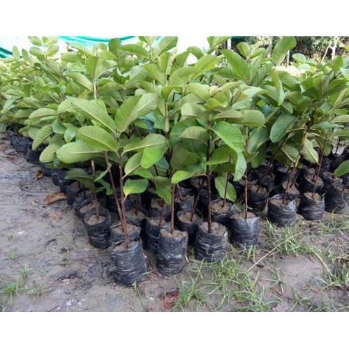 Allahabadi White Guava Plant