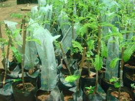 Chakaiya Amla Plant