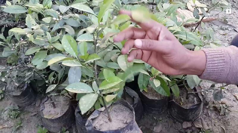 Desi Kagzi Nimbu Plant