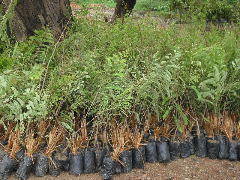 NA7 Amla Plant