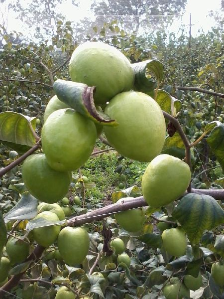 Green Apple Ber Plants Manufacturer Supplier in Parganas India