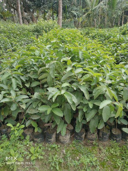 Green Guava Plants Manufacturer,Green Guava Plants Supplier