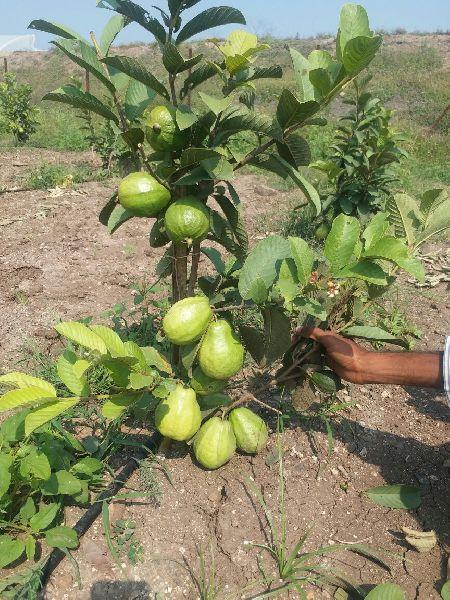 Thai 7 Guava Plants Manufacturer,Thai 7 Guava Plants