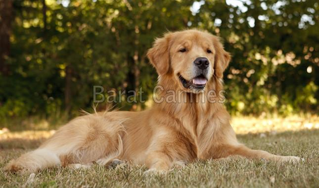 Golden Retriever Dog Supplier Wholesale Golden Retriever Dog