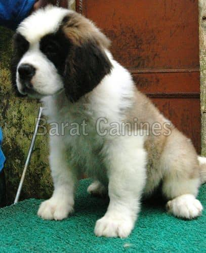 Saint Bernard Dog Supplier, Buy Saint Bernard Dogs in
