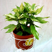 Aglaonema Variegated Plant