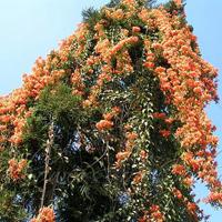 Bignonia Venusta Plant