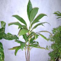 Cordyline Termina Plant