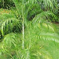 Dypsis Arenarum Plant