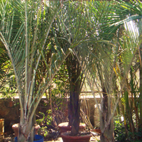 Dypsis Decaryi Plant