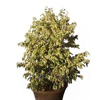 Ficus Benjamina Bushy King Plant