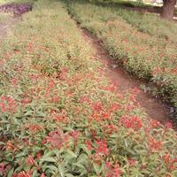 Hamelia Plant
