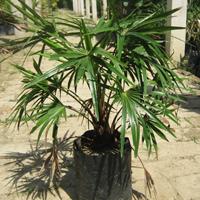 Livistona Australis Plant