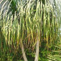 Nolina Recurvata Plant