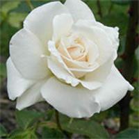 Pascali Rose Plant