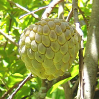 Sharifa Plant