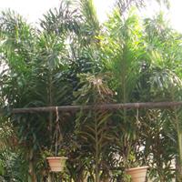 Wodyetia Bifurca Plant