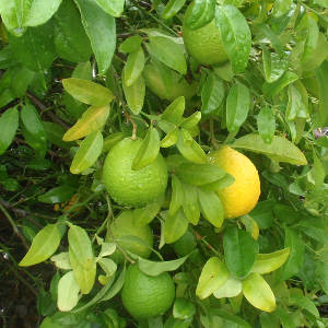 Kagzi Lemon Plant