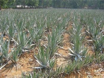 Organic Safed Musli Plant