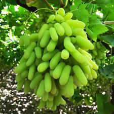 Fresh Super Sonaka Green Grapes