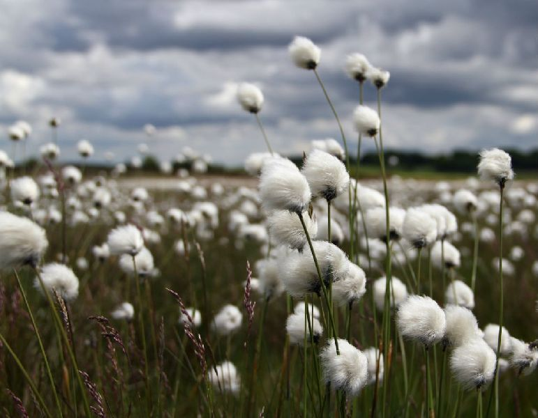 Indian Virgin Raw Cotton Manufacturer Supplier in Indore India