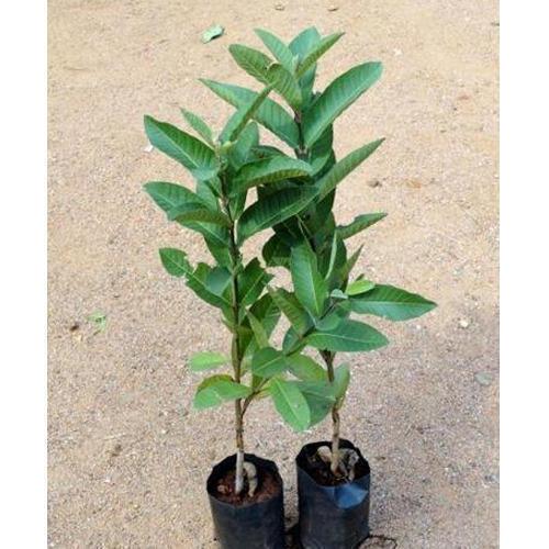 Amrapali Mango Plant