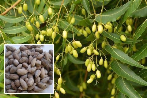 Biofuel Trees