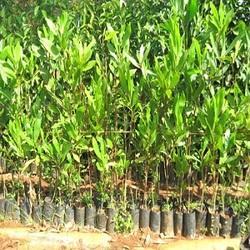 Mangium Plant
