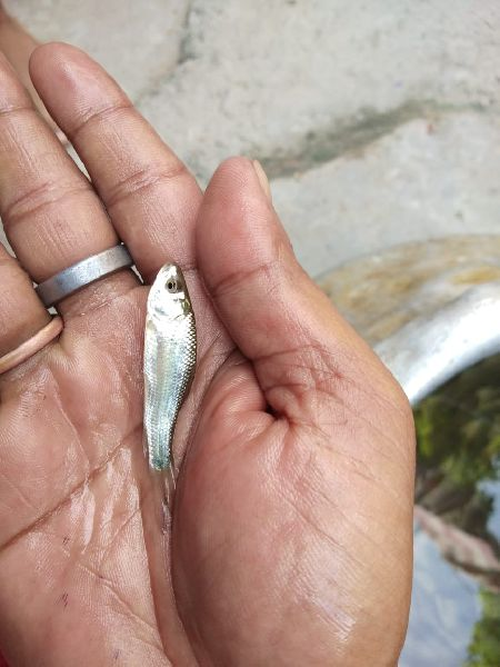 Bata Fish Seeds 02