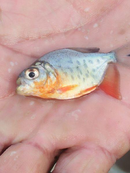 Roop Chanda Fish Seeds