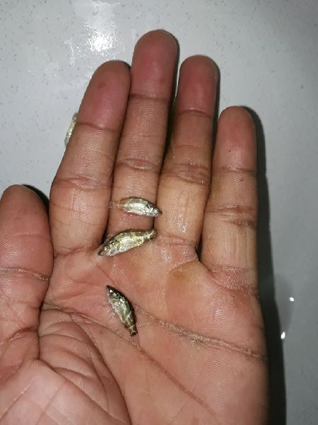 Sea Bass Fish Seeds 02