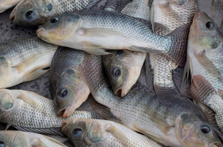 Frozen Tilapia Fish 02