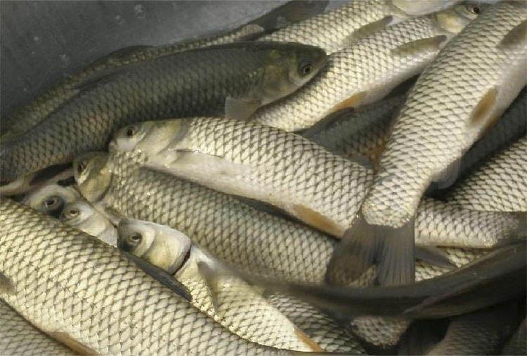 Frozen Grass Carp Fish