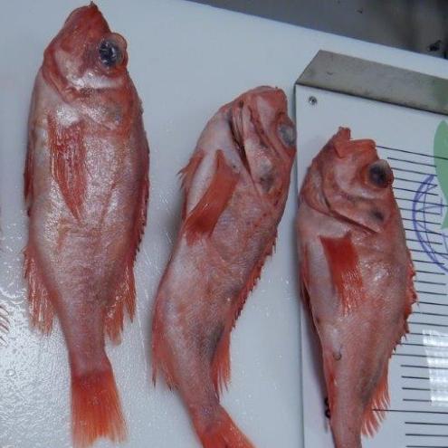 Frozen Redfish