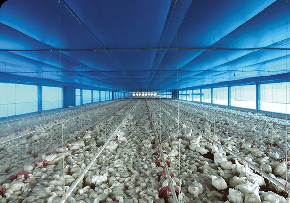 Poultry Shade Net 01