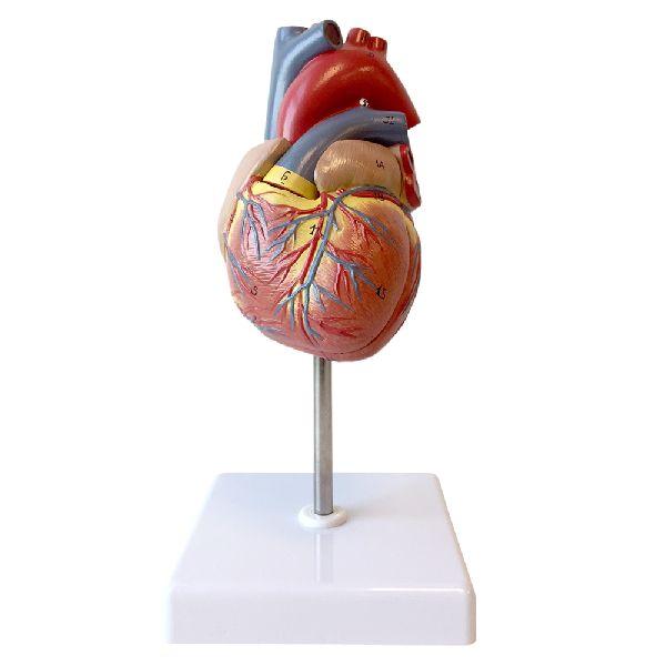 Anatomy Human Heart Supplier
