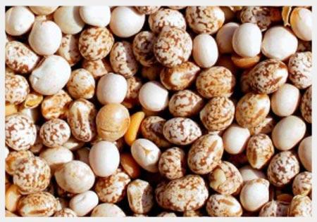 Angustifolius Beans