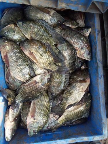 Macron Fish Supplier,Wholesale Macron Fish Distributor in Ongole India