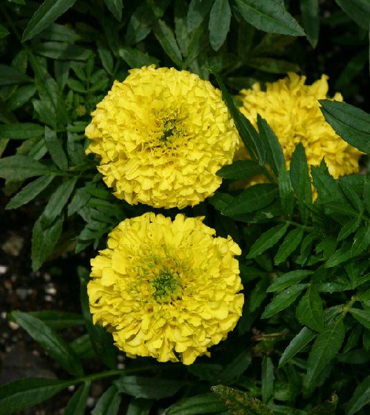 Calendula Tagete Flower